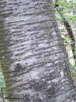 corteccia ciliegio